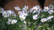 Stock Video Footage of wood anemone