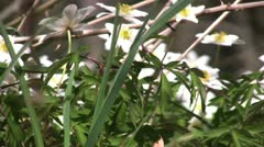 wood anemone - stock footage