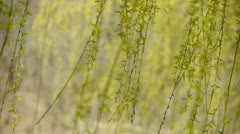 Willow branches swaying in wind. Stock Footage
