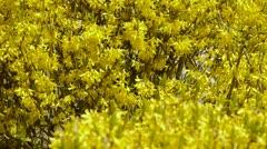 Winter jasmine in the sunshine. Stock Footage