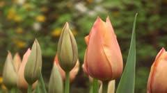 Tulipa Stunning Star  - stock footage