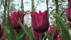 Tulipa Lasting Love Stock Footage