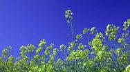 Canola field and a beautiful blue sky Stock Footage