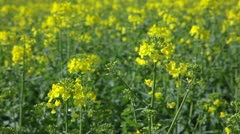 Rape field in spring and summer Stock Footage
