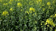 Rapeseed canola in spring and summer Stock Footage