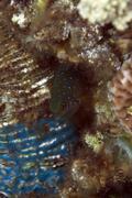 jewel damselfish in the red sea. - stock photo