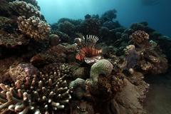 Lionfish and tropical reef. Stock Photos