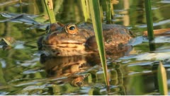 Frogs  RAW - stock footage