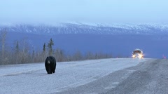 Truck Approaching Black Bear Walking on Yukon Hwy - stock footage