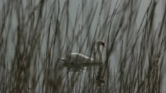 Beautiful white swan swimming Stock Footage