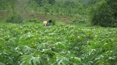 Asian Farmer Spraying Cassava Crop In Thailand Stock Footage
