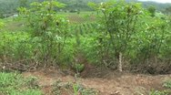 Stock Video Footage of Cassava Field In Western Thailand-Tilt Up