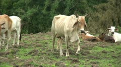 Asian Cow Mooing In Western Thailand Stock Footage