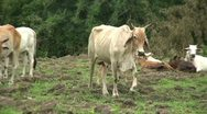 Stock Video Footage of Asian Cow Mooing In Western Thailand
