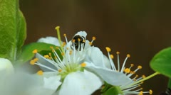 Bee on a spring blossom Stock Footage