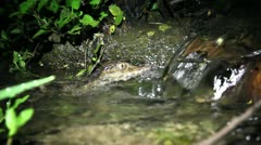 A baby Smooth-fronted Caiman in a stream in the Peruvian Amazon Stock Footage
