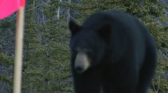 Yukon Black Bear Attacking Cameraman - stock footage