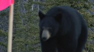 Stock Video Footage of Yukon Black Bear Attacking Cameraman