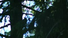 Woodpecker research a trees Stock Footage