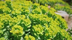 Euphorbia flower closeup shot with shallow depth of field, 2 views Stock Footage