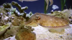 A Charming Cuttlefish Pauses to Investigate the Camera Stock Footage