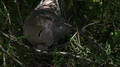 Eurasian Collared Dove Nest Shift Change Stock Footage