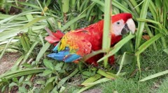 A WILD Scarlet Macaw playfully rolls around in the grass in the Peruvian Amazon Stock Footage