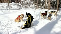 A Dogsled Team Races in Northern Ontario, Canada Stock Footage