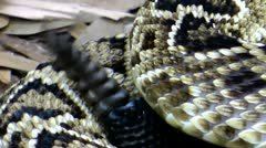 Stock Video Footage of Eastern Diamondback Rattlesnake (Crotalus adamanteus) tail rattle