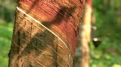 Rubber Tree with Latex Static Stock Footage