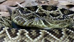Eastern Diamondback Rattlesnake (Crotalus adamanteus) in Florida Stock Footage