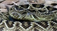 Stock Video Footage of Eastern Diamondback Rattlesnake (Crotalus adamanteus) in Florida