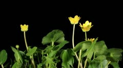 Spring blooms of yellow flowers primroses (Ranunculus ficaria) (Ficaria verna), Stock Footage