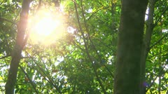 Sun through Rubber Trees Stock Footage