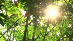 Sun through Rubber Trees 2 Stock Footage