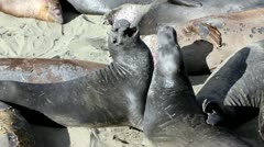 Male Elephant Seals Fight for Dominance at San Simeon, California Stock Footage