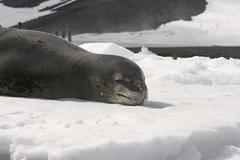 leopard seal - stock photo