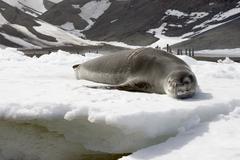 Leopard seal Stock Photos