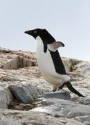 Jääpingviini - stock photo