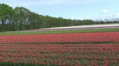 Flower Fields Noordwijkerhout Bulb Region, The Netherlands Stock Footage