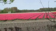 Stock Video Footage of Flower Fields Bulb Region - Vehicle Shot