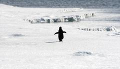 Jääpingviini (Pygoscelis adeliae) - stock photo