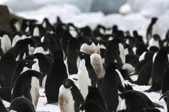 Snowy sheathbill (chionis albus) Stock Photos