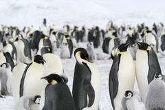 emperor penguins (aptenodytes forsteri) - stock photo