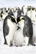 emperor penguins (aptenodytes forsteri) - stock photo