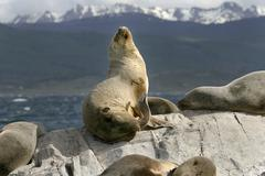 south american fur seal (arctocephalus australis) - stock photo