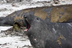 Southern elephant seal (mirounga leonina) Stock Photos