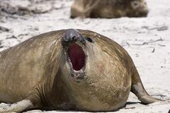 southern elephant seal (mirounga leonina) - stock photo