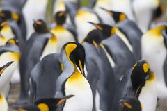 King penguins (aptenodytes patagonicus) Stock Photos