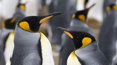 king penguin (aptenodytes patagonicus) - stock photo